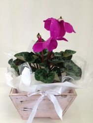 Cyclamen plant in vintage planter
